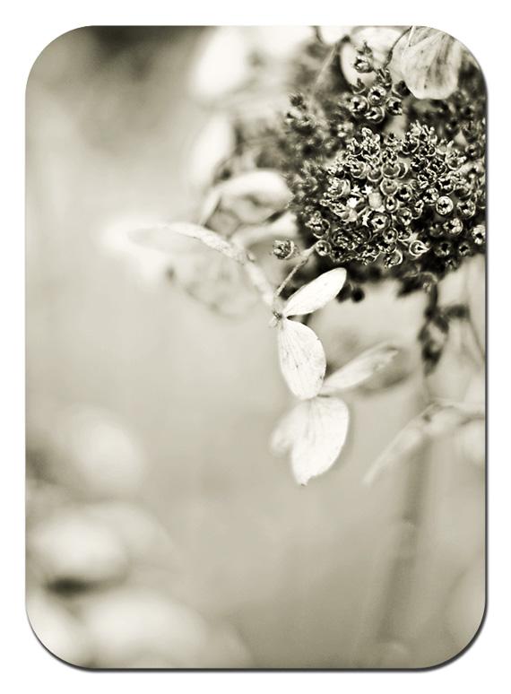 hydrangea blw 2 web