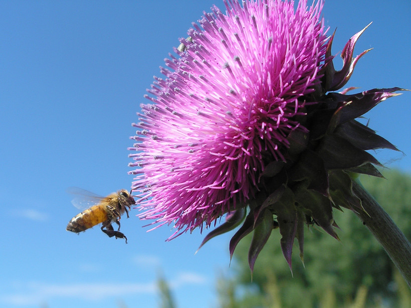 Bee with Thistle