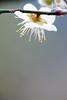 梅花跳跳舞 Dance! (samyaoo) Tags: bokeh plum taiwan 南投 台灣 plumblossoms 梅花 nantou shinyi 信義 牛稠坑 柳家梅園 百微 散景 ef100mmmacrof28