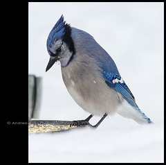 Life at the Feeder #1 (Andrea Kollo Photography) Tags: winter canada bird birds countryside nikon jay collingwood georgianbay bluemountains canadian bluejay nik topaz naturephotography simcoecounty collingwoodontario nottawasagabay corelpsp georgianpeaks nikond700 andreakollo andreakollophotographer wwwandreakollophotographycom