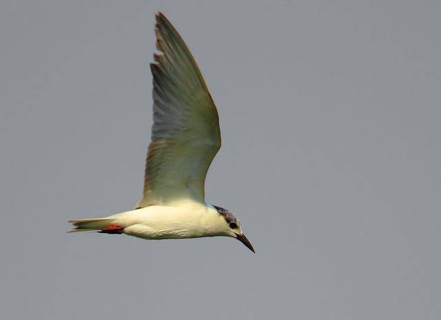 2011_01_15_010997 Tern crop