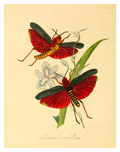 002-Locusta Morbillosa-Natural history of the insects of China…1842- Edward Donovan