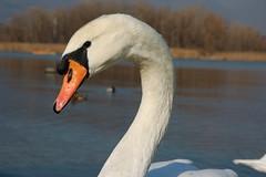 Cigno_1 (La Paletta) Tags: lake lago see swan schwan arco arancione uccello collo cigno becco piume elenzanza