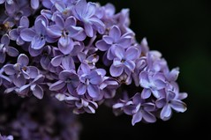 Lilac on Black (russell.tomlin) Tags: blue flower floral closeup purple lilac onblack