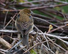 _53F5024 Indigo Bunting (female) (~ Michaela Sagatova ~) Tags: bird nature rain female dundas indigobunting passerinacyanea dvca michaelasagatova
