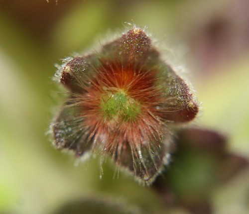 Kohleria Snake Skin flower bud