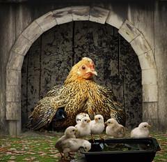 Surveillance (jaci XIII) Tags: galinha pintinhos animal galinheiro ninho abrigo fazenda hen chicks chicken farm animals under nest
