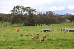 hens Free range chickens Yandoit Victoria Australia_8485 (gervo1865_2 - LJ Gervasoni) Tags: free range chickens yandoit victoria australia farming agriculture eggs food production maremma alpaca