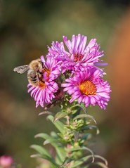 pink flower. (Janne Fairy) Tags: pink flower bee biene blume wildpflanze wild plant green yellow fly summer blossom honey nature natur