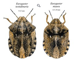 Scutelleridae - Eurygaster testudinaria and maura (Ashley _Wood) Tags: brown white black true bug bugs british stinkbug stink shieldbug scutelleridae