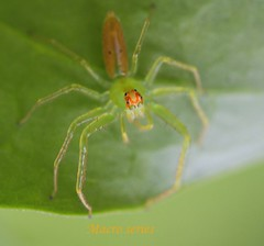 Macro green spyder (tinica50) Tags: macro bugs spyder naturesfinest overtheexcellence