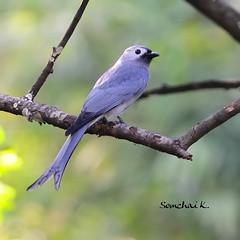 Ashy Drongo (Migrant race) (somchai@2008) Tags: ashydrongo dicrurusleucophaeus mywinners  thewonderfulworldofbirds qualitygold dicrurusleucophaeusleucogenis
