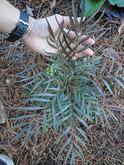 Mahonia Soft Caress cold damage in ground