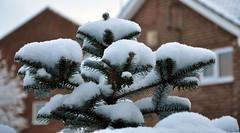 Snowbound Fir tree (The Travelling Bum) Tags: snow tree dof fir firtree snowbound ttb firstsnowfall thetravellingbum