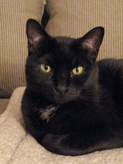 Wheaton, IL, Oskar, My Housemate I (Mary Warren (7.3+ Million Views)) Tags: cat blackcat feline oskar coth supershot wheatonil bestofcats impressedbeauty