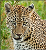 look into my eyes.... (JuttaMK) Tags: portrait mama leopard sa kruger 2010 malamala specanimal mauekay kikelezi amazingwildlifephotography