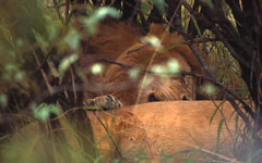 taking a nap (Michael Earley) Tags: wild grass animals bush kenya lions earley michaelearley michaelinitaly
