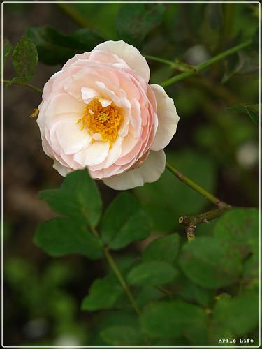 2010 士林官邸 薔薇 02