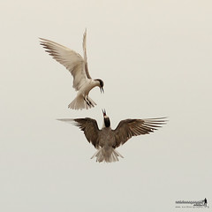 Chatting in Flight (Sir Mart Outdoorgraphy) Tags: birds magazine education nikon photographer bokeh outdoor birding best malaysia penang indah birdwatching birder butterworth birdisland byram unik nikonian d90 migratorybirds bairam menarik nikonuser nibongtebal jurugambar penangflickr sigma150500 pulauburung sirmart outdoorgraphy penangflickrgroup pulauburong littleternsternaalbifrons