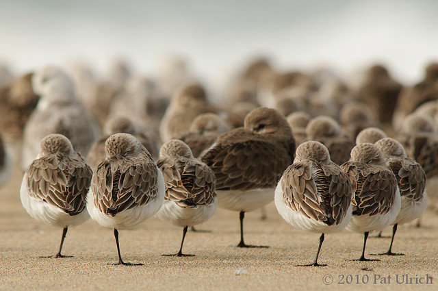 Sleeping sandpipers