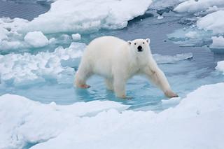 polar bear front