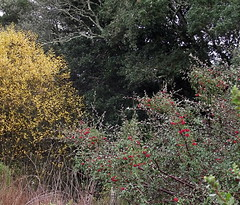 Willows and Toyon (terriem) Tags: willow toyon