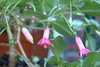 Fuchsia 'Gina Bowman' (pennyeast) Tags: flower botanical fuchsia capetown felicity 2010 onagraceae papaalphaecho