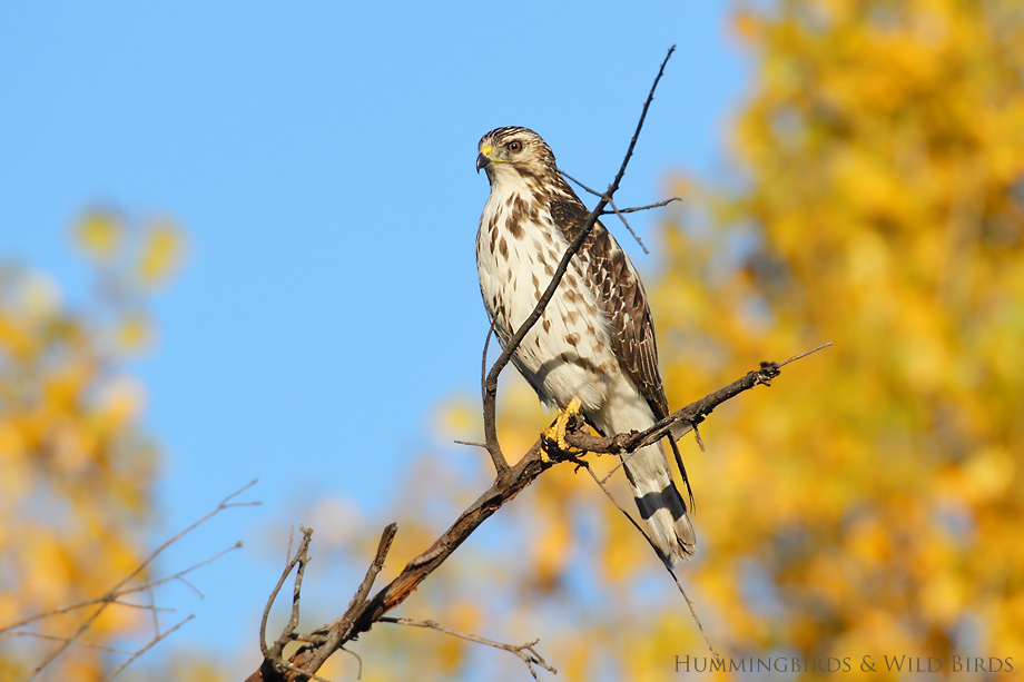 Broad-winged-Hawk-121008