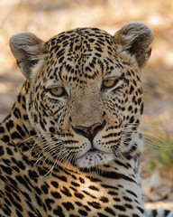 Tom Cat (Wild Dogger) Tags: africa travel nature animals canon tiere wildlife urlaub natur adventure safari leopard afrika botswana predator mammals carnivore tomcat 2010 bigfive naturesfinest felidae pantherapardus sugetier abenteuer raubtiere linyanti kwando abigfave lebala platinumheartaward canoneos7d thomasretterath doublyniceshot canonef300lis28usm