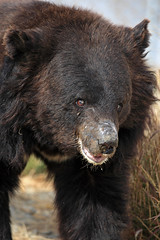 Chowti, an asiatic black bear (WSPA Canada) Tags: bear new food home up closeup female nose doors blind time outdoor structures her give used using explore smell brc were after safe forced took trade period refused baiting sticking borders alternative owner quarantine asiatic enclosure sense herself opened confiscate coaxed timidly chowti liveihood familiarise