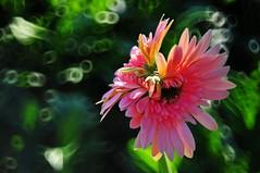 Twin daisy  (Mel@photo break) Tags: 2 plant flower mirror twins bokeh mel gerbera daisy melinda macau africandaisy flowershow gerberadaisy reflexlens 50mmf35  chanmelmel melindachan