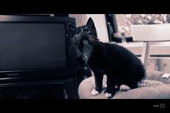 Curious Cat  (Justin Steiginga) Tags: blue portrait color colour male love nature animals cat canon eos 50mm photo soft sweet mickey groningen cinematic splittone 50d  yn460 justinsfoto justinsteiginga