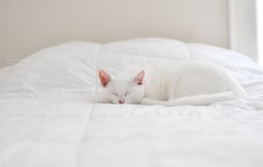 Afternoon nap (Danielle Pearce) Tags: pink sleeping white cat bed kitten sweet cut sleep room kitty ears blanket asleep