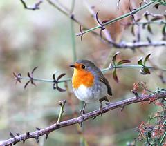 Petirrojo Sitges (vic_206) Tags: naturaleza bird nature robin dof erithacusrubecula bokeh ave pajaro sitges petirrojo canon300f4lis canoneos7d