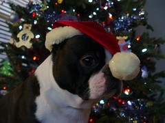 "Dec 22, 2010 [Day 51] Santa Danny"" (James_Seattle) Tags: santa christmas dog boston bostonterrier december christmastree 365 santahat 2010 christmashat jamesseattle"