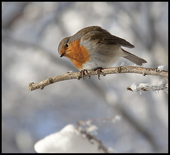 Who are you looking at? (Ianmoran1970) Tags: winter red england snow cold bird ice robin liverpool canon branch redrobin crosby iceicles 50d ianmoran ianmoran1970