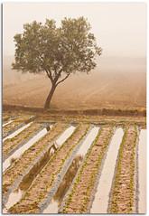 Alone in the fog (Antonio Carrillo (Ancalop)) Tags: winter españa tree water fog canon landscape arbol spain agua europa europe paisaje murcia invierno niebla 70200mm puertolumbreras 70200lf4usm ancalop