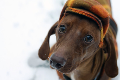 Herbie the Wonder Dachshund