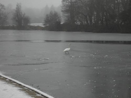 River Blackwater Frozen Swan Crossing