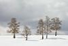 Six Winter Aspens, Colorado (bretedge) Tags: winter white snow nature landscape rockies colorado quiet seasons relaxing scenic peaceful calm northamerica telluride rockymountains sanjuans aspentrees populustremuloides