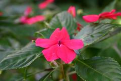 flor no quintal (Radames Ajna) Tags: natal flor mg campana quintal tartaruga 2010 campanha horta alface jabuti