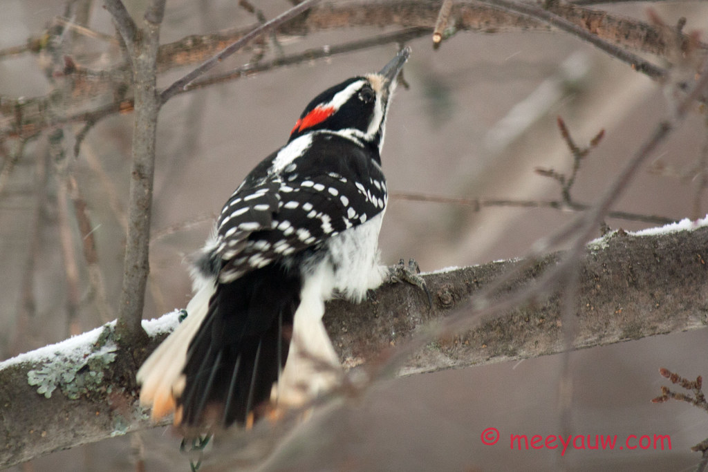 Woodpeckers    025.jpg