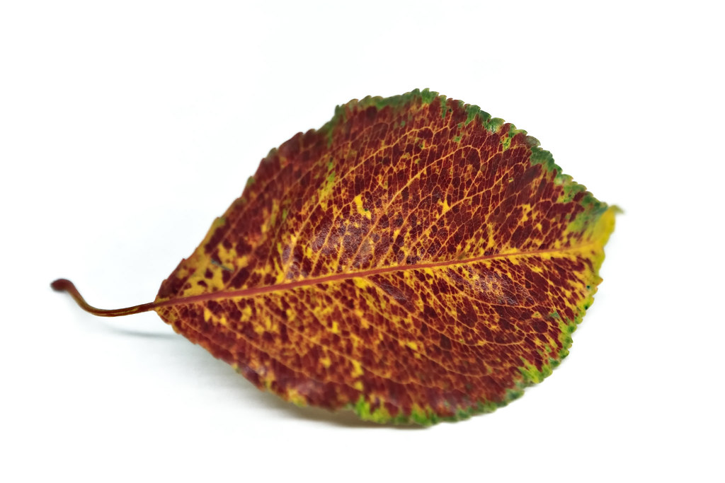 A Winter Leaf
