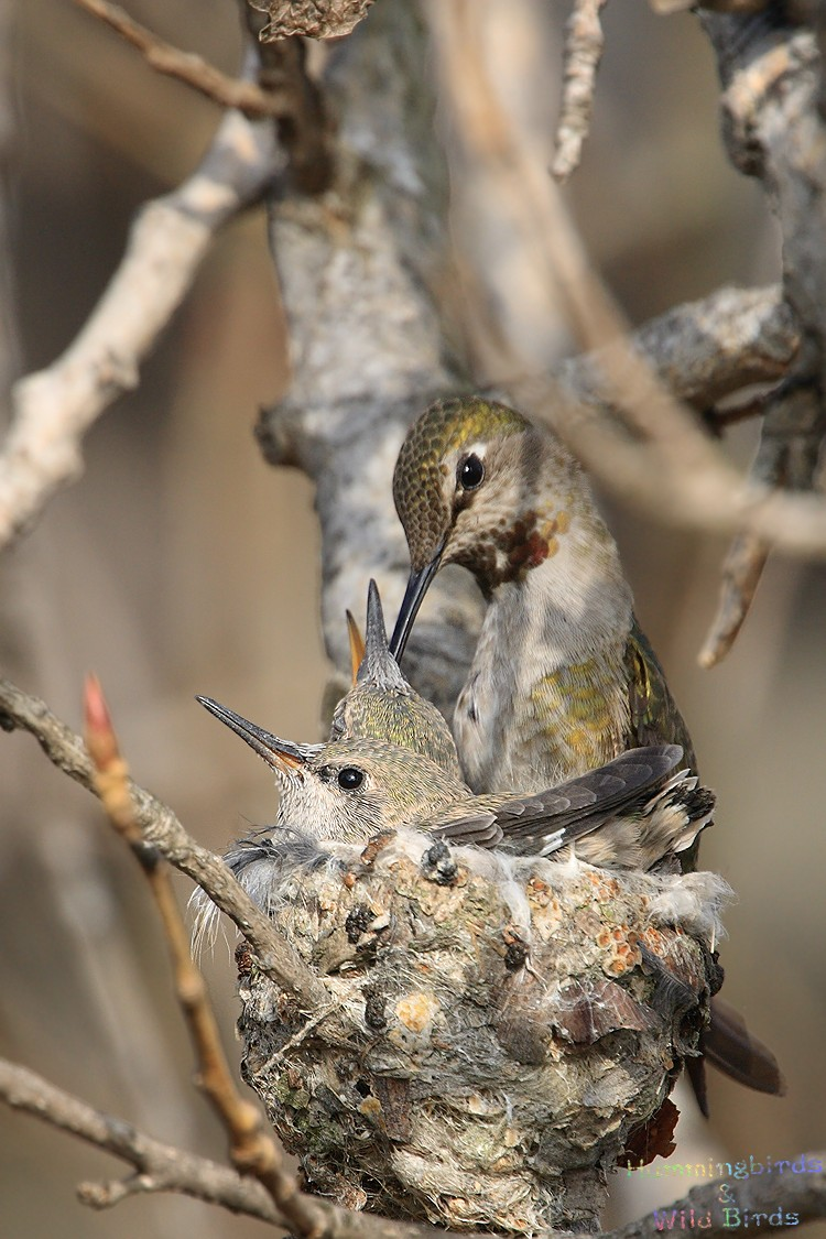 Anna's Hummingbird nest 02101-2