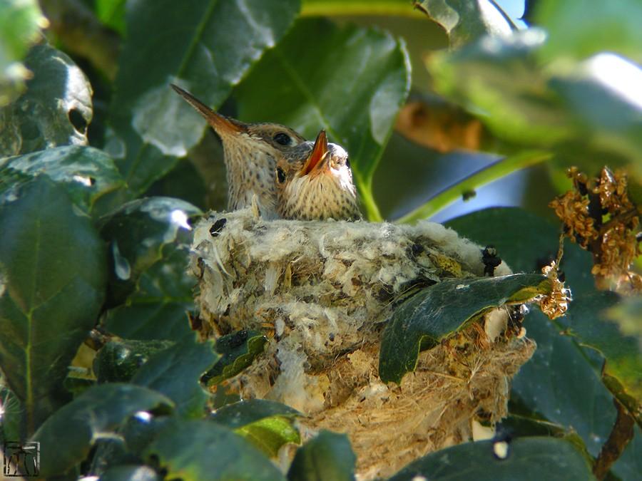 Allen's Hummingbird nest 05101