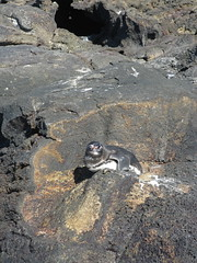 Penguin, Bartolome Island