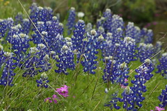 Memories of Spring in Texas (beegardener) Tags: texas hillcountry fredericksburg bluebonnets llano lupines texaswildflowers fredericksburgtexas texashillcountry lupinustexensis willowcityloop wildphlox texasbluebonnets fantasticflower llanotexas