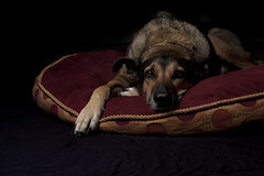 52/52 That's a wrap (Pantusso) Tags: california light portrait dogs photography bed eyes low ears canine travis bella fairfield pacheco laying 52weeksfordogs