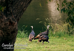 River Turkeys