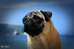Trasgu 2 (Patricia Cuervo) Tags: dog canon pug asturias playa perro silencio carlino 400d gavieru